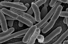 trực khuẩn than