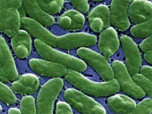 trực khuẩn mủ xanh